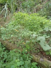 Ají Chirca Arbusto