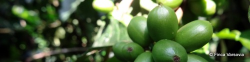 Our coffee fruit producing fine coffee beans.