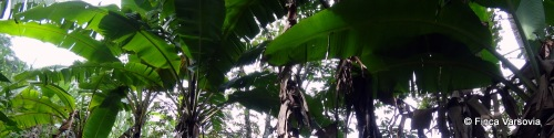 Our banana plantation.